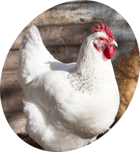 Poultry for Sale | Backyard Poultry | Chickens, Ducks, Geese